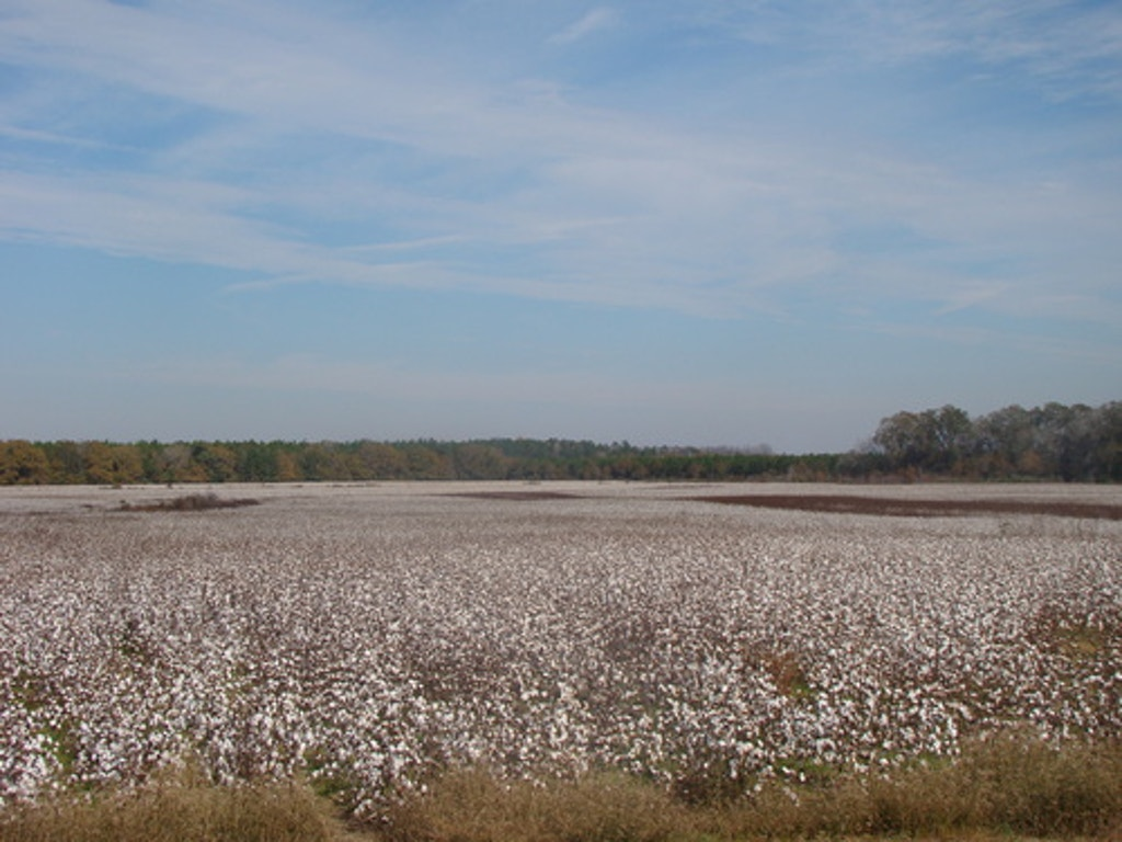 Cotton Field. Photo by Lisa Safstrom.