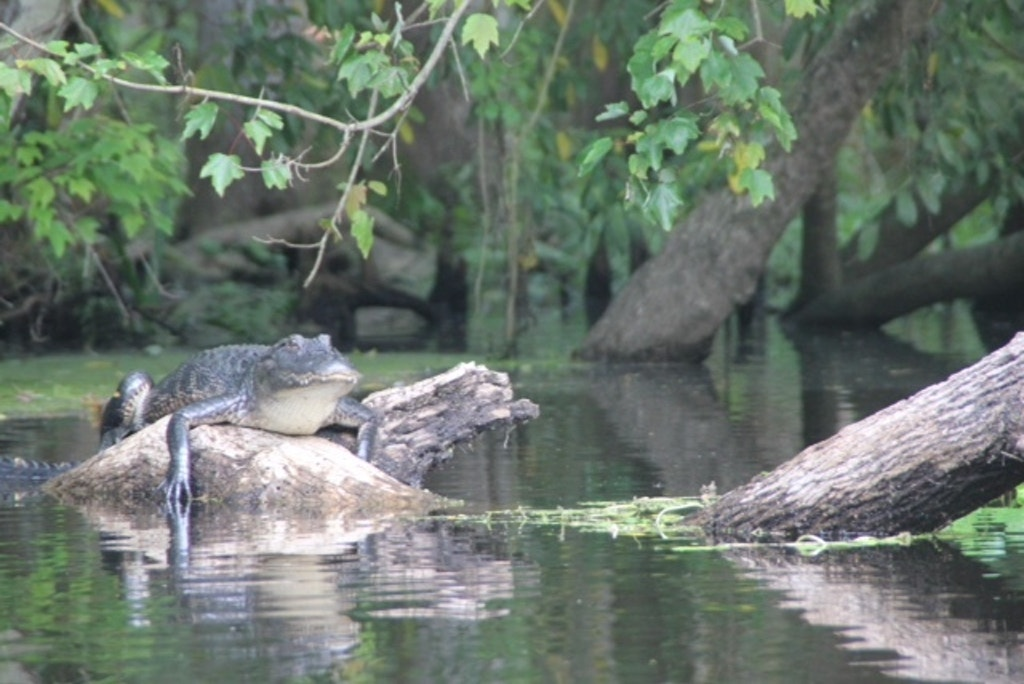Alligator on the Hillsborough River near Tampa. Photo by Richard Dieter.